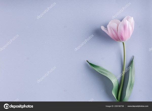 Flor tulipa rosa sobre fundo azul claro cartão convite casamento